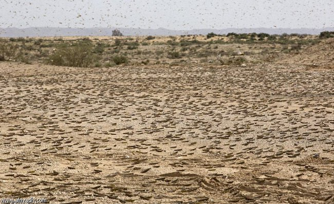 الفاو: و خطر الجراد بموريتانيا و جنوب الصحراء