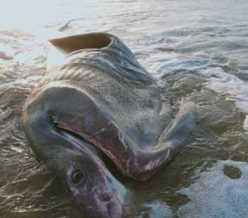 حوت ضخم بسواحل فم
